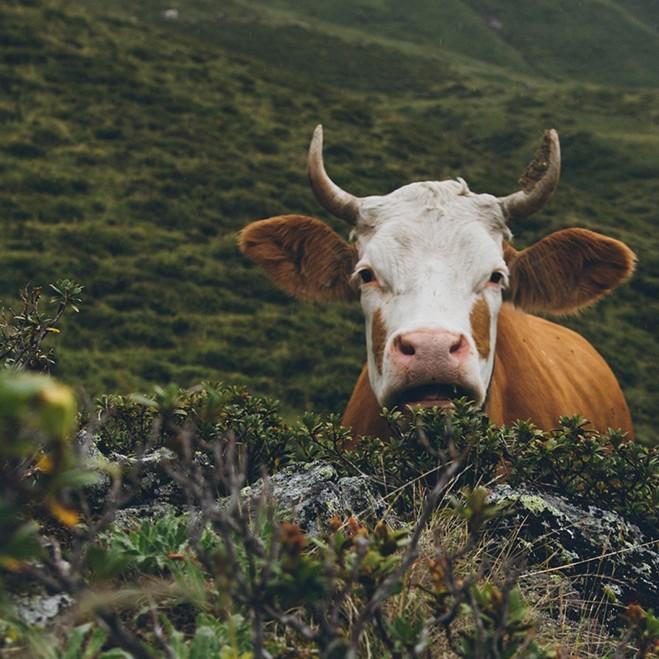 Welche Lebensgeschichte hat eine Kuh?